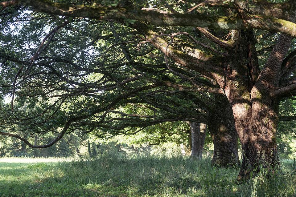 Les chênes de Gorce